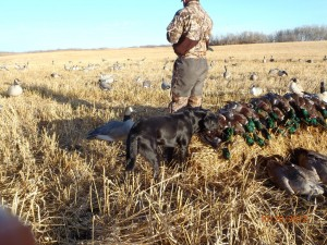Waterfowl hunting in Saskatchewan, Canada